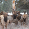 Thumbnail image for Elk in Bend Oregon