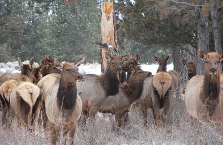 Post image for Elk in Bend Oregon